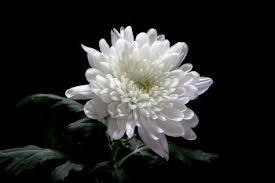chrysanthemum on black 1