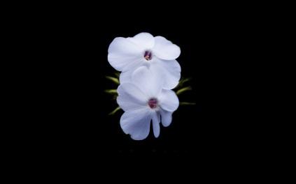 flower on black 10