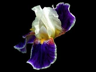 iris on black 1