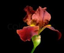 iris on black 2