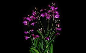 orchid on black 5