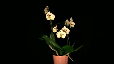 orchid on black 7