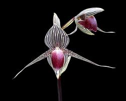 orchid on black 9