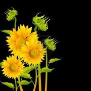 sunflower on black 1
